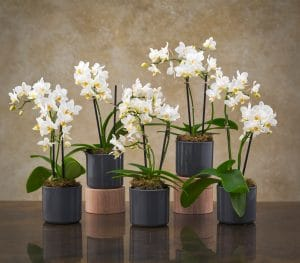 Small White Orchids